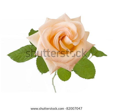 Cream rose with leaves isolated on white