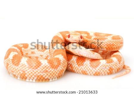 Creamsicle Corn Snake (Elaphe guttata guttata) on white background.