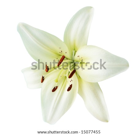 Creamy lily flower isolated on white background