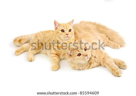 Creamy  scottish straight shorthair and highland six monthes cats isolated on white