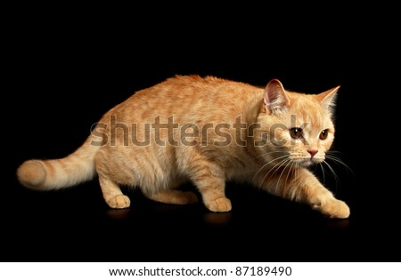 Creamy tabby scottish straight shorthair six monthes cat isolated on black, creeping