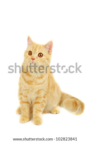 Creamy tabby scottish straight shorthair six months cat isolated on white