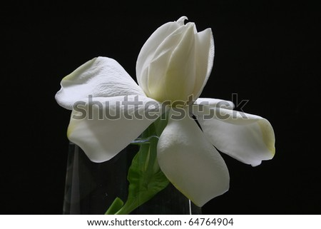 Creamy White Gardenia flower black background
