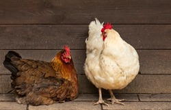 Creamy white hen and brown chicken standing in front of a wooden chicken coop - poultry  and farming, fowles, domestic animals, livestock