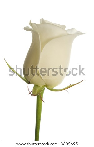 creamy white rose on white background, isolated with clipping path.