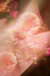 Creative abstract natural background.Pastel pink gerbera daisy photographed through a prism for a Surreal Prisming Shot Of. Spring flowers shot with kaleidoscope effect. Floral layout, wallpaper.