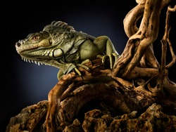 Creative animal nature concept photo of green reptile iguana lizard on a tree branch.