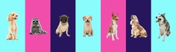 Creative collage of six different breeds of dogs and cute raccoon. Flyer for ad.