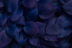 Creative colored hosta plant leaves background. Botanical nature surface. Wallpaper or poster with leaf.