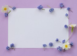 Creative display of blue muscari and white primrose on a purple background.White copy space for writing