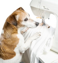 Creative hobby tailor sewing clothes design theme.  Dog looking side concentratedly and thoughtfully.  sews white T-shirt. Clothing designer tailor at work in creative process of making clothes. White