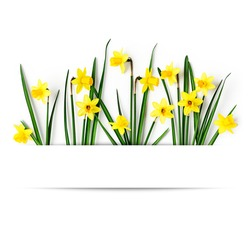 Creative layout with daffodil spring flowers and leaves isolated on white background. Floral banner composition with beautiful yellow small narcissus. Easter flowers concept, flat lay, copy space