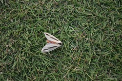 Creatonotos gangis is a species of arctiine moth found in South East Asia and Australia. Fao Erebidae superfamily Noctuoidea  The abdomen is red white hindwings and brown forewings with dark streak.