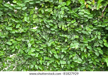 plant climbing fig creeping fig creeping rubber fig covered wall