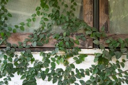 creeper plant covered wall and windows, climbing ornamental hous plant, outdoor vines plants and climbers, plant covered building