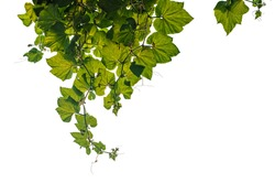 Creeper plants hanging on white background, clipping path included