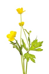Creeping buttercup, Ranunculus repens, flower and foliage isolated against white