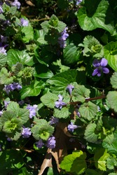 Creeping Charlie or ground ivy (Glechoma hederacea) is seen as a weed by some and a welcome ground cover by others