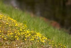 Creeping cinquefoil (Potentilla reptans) or European cinquefoil or creeping tormentil, a plant in the rose family Rosaceae with yellow heart-shaped petals, creeping plant native to Eurasia