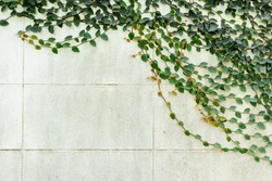 Creeping Fig, green grass on wall cement floor.