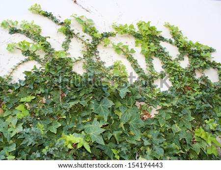 Creeping green  ivy  araliaceae species will cover walls trees and buildings  or creep along the ground as it is  a hardy plant but needs to be regularly pruned  for good control.