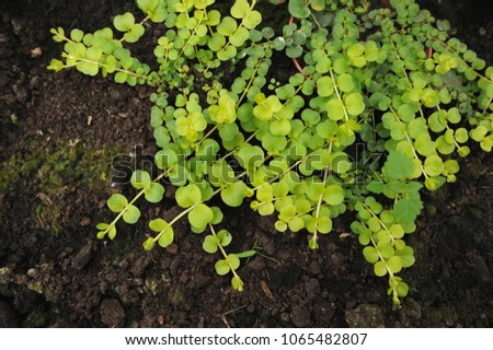 Creeping jenny (Lysimachia nummularia) is a species of flowering plant in the family Primulaceae.