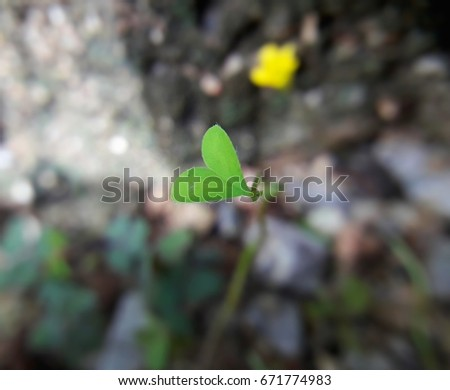 Creeping Oxalis (Oxalis corniculata), Three leaf clovers #671774983