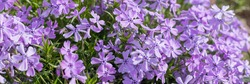 Creeping phlox ,Phlox subulata, also known as the moss phlox. Flowering plant.Flowerbed with Purple blooming flowers.web banner