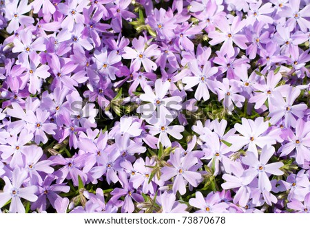 creeping phlox phlox subulata emerald blue in full bloom in early spring stock photo 73870678. Black Bedroom Furniture Sets. Home Design Ideas