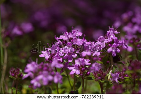 Creeping wild thyme, a little tough plant with a range of use: medicine, ground cover, bees are loving it,...