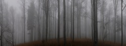 Creepy beech trees forest in Jeseniky mountains at autumn. Gloomy hilly foggy landscape, tree trunks. Jeseniky mountains, Eastern Europe, Moravia.