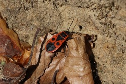creepy-crawly Fire Bug in spring on a rock