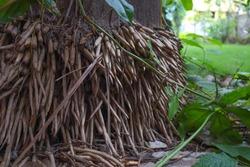 Creepy Looking Dense Roots of Royal Palms Tree. Bottom part of Royal Palms Tree Stem.