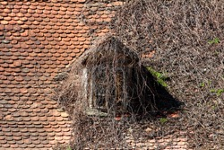 Creepy looking roof window on old country house almost completely covered with dried crawler plants surrounded with small dilapidated roof tiles on warm sunny spring day