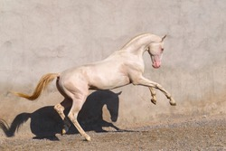 Cremello akhal teke stallion rearing in the paddock against white old wall. Animal portrait.