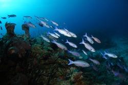 Creole wrasse fish swimming over the coral reef - Akumal, Riviera Maya, Mexico