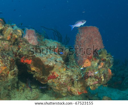 Creole Wrasse swimming over a barrel sponge on a coral outcropping in south east Florida.