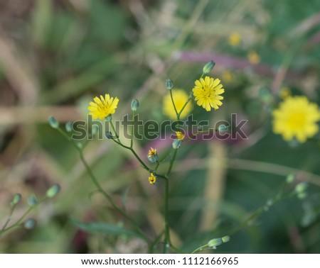 Crepis tectorum flower, the narrowleaf hawksbeard or narrow leaved hawk's beard, blooming in spring
