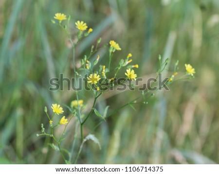 Crepis tectorum, the narrowleaf hawksbeard or narrow leaved hawkd beard, blooming in the summer