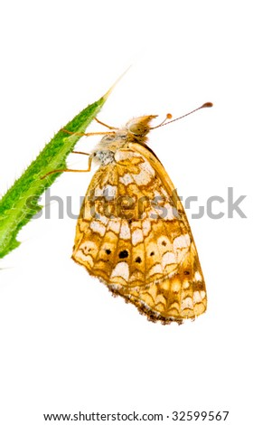 Crescent Butterfly, Genus Phyciodes, on Thistle Leaf with White Background