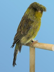 Crested canary bird perched in softbox