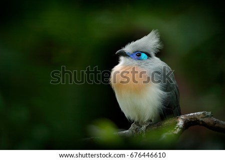Crested Couna, Coua cristata, rare grey and blue bird with crest, in nature habitat, sitting on the branch, Madagascar. Birdwatching in Africa.