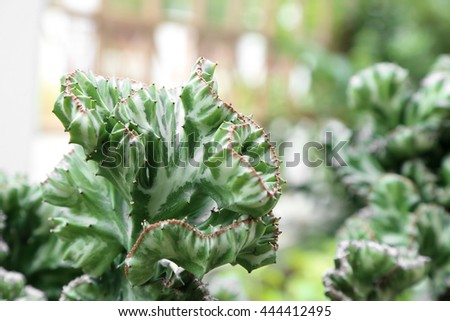 Crested Euphorbia, Coral Cactus succulent, kind of tropical plant. #444412495