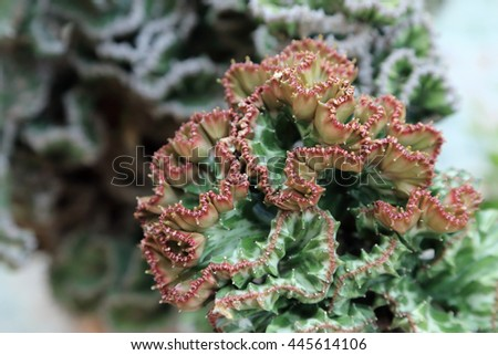 Crested Euphorbia, Coral Cactus succulent, kind of tropical plant. #445614106