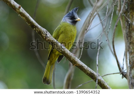 Crested finch-billed bulbul and finch-billed bulbul perching on tree branch, Spizixos canifrons song bird