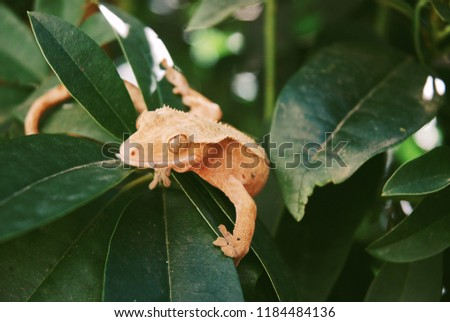 Crested gecko curled around beautiful green leaves.