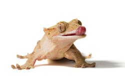 Crested gecko licking its nose isolated on a white background