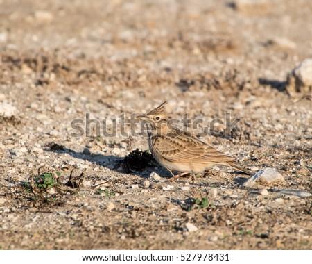 Crested lark on the ground(Galerida cristata) #527978431