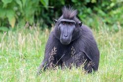 Crested Monkey