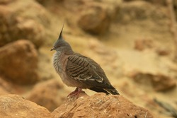 Crested pigeon (Ocyphaps lophotes) a crested pigeon standing on a rock with a natural desert background